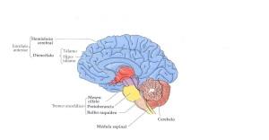 cerebro partes1